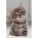 Gatitos Atigrados Gatos