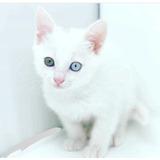 Gatitos Blancos Ojos Azules Khao Mane