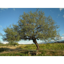 Arbol De Mezquite , Reforestacion,