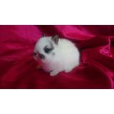 Hermosos Conejos Enano Holandes (netherland Dwarf) 100% Puro