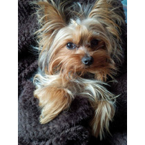 Hermoso Yorskhire Terrier Mini - Busca Novia
