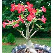 100 Semillas Flor Del Desierto Adenium Obesum