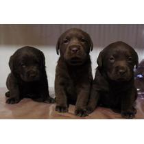 Hermosos Cachorros Labrador Chocolate