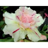 Rosa Del Desierto Double-marena ( 1 Planta)