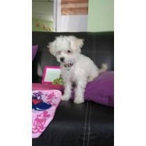 French Poodle Mini Perrita