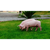 Lechones, Cerdos, Pie De Cría F1 Landrace - York 22 Kg
