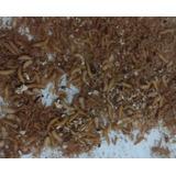 500 Larva De Gorgojos O Corucos Chinos Por $60.00 Pesos