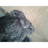 Chinchillas Hembras Color Gris
