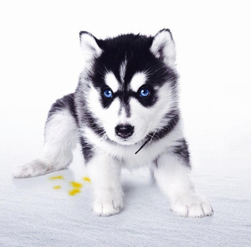 Husky Siberiano Cachorros.