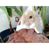 Conejos Belier Raza Original