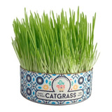Cat Grass Pasto De Trigo Para Gatos