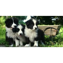 Border Collie De Super Tiernos