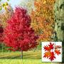 Arbol De Encino Rojo Y Siempreverde De 50cm De Altura
