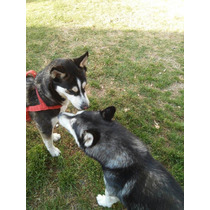 Husky Siberiano Negro C Bco Ojos Azules Preventa