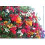 7 Esquejes De Bugambilia, Todos Los Colores Envio Gratis