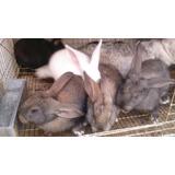 Conejos  Gigantes De Flandes  100% Gazapos Desde 40 Dias.