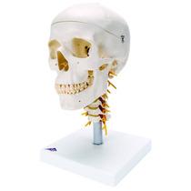 Modelo Anatómico De Craneo (4 Piezas) Con Espina Cervical 3b