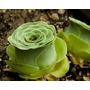 Semillas Suculentas Greenovia Diplocycla Jardin Cactus Plant