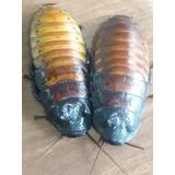 Cucarachas De Magadascar