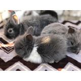 Conejos En Venta, Cabeza De León, Enano, Y Mini Lop