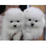 Pomerania Miniatura Adorables