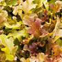 10 Gr. Semillas Lactuca Sativa. Lechuga Red Salad Bowl