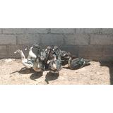 Pato Doméstico En Canal Para Comer Por (150.00xkilo)