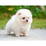 Pomerania Adorables Cachorros Vip