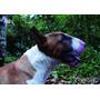 Bull Terrier Ingles Semental