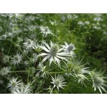 1 Kilo Autentica Hierba Del Sapo Eryngium Heterophyllum