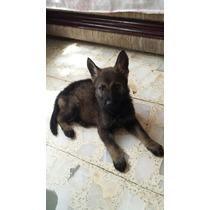Vendo Bonita Cachorra Pastor Aleman Dark Sable