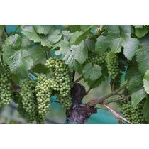 1 Planta Uva Vid Verde Sin Semilla Cultivo Organico