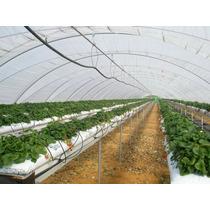 Plantas De Fresa Cantidades De 75 Promoción 3*2 Envió Gratis