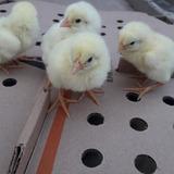 Pollos De Engorda Ross 308