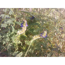 Semillas De Pasto Con Aroma Citrico Citronela Lemon Grass