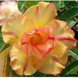 Rosa Del Desierto Quatro Golden King ( 1 Planta)
