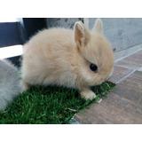 Hermosos Conejos Netherland Enano Holandes Calidad Celaya