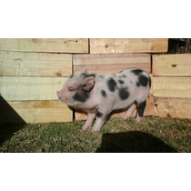Cerdito Mini Pig Moteado