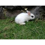Conejos Enano Holandés