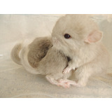 Hermosas Chinchillas Exoticas Color Beige Machos