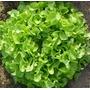 Lechuga Hoja De Roble 250 Semillas Hortalizas Jardin Huerto