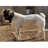 Sementales Chivos Cabras Boer Con Registro