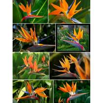 8 Semillas De Flor Ave Del Paraiso