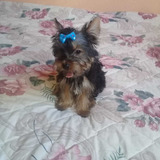 Yorkshire Terrier Yorki  Machito Miniatura