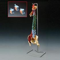 Modelo De Columna Vertebral Flexible Con Patologias