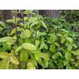 Planta Kalanchoe Pinnata ( Suculentas )