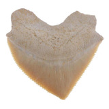 Auténtico Espécimen De Diente De Tiburón Juguetes De