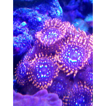 Coral Palytoa Utter Shaos Hermosa