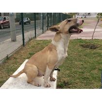 Bull Terrier Ingles 2 Años De Edad.