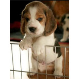Beagle Cachorros De Las Mejores Lineas